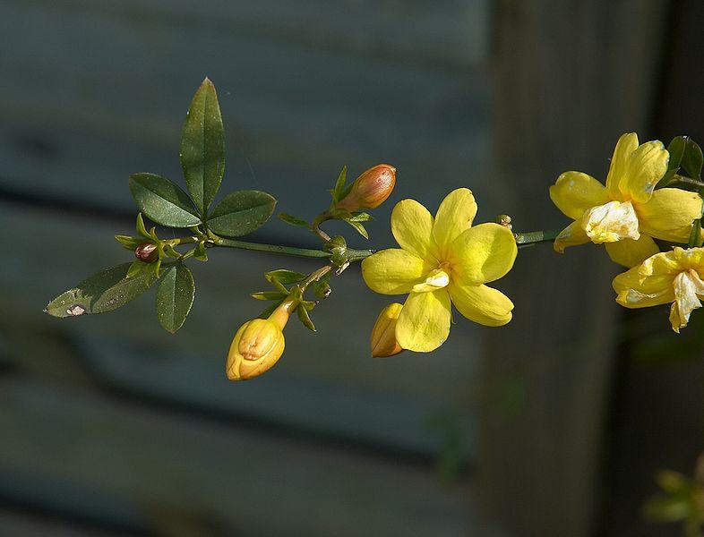 Jasminum mesnyi (primrose jasmine edo japoniar jasmina)