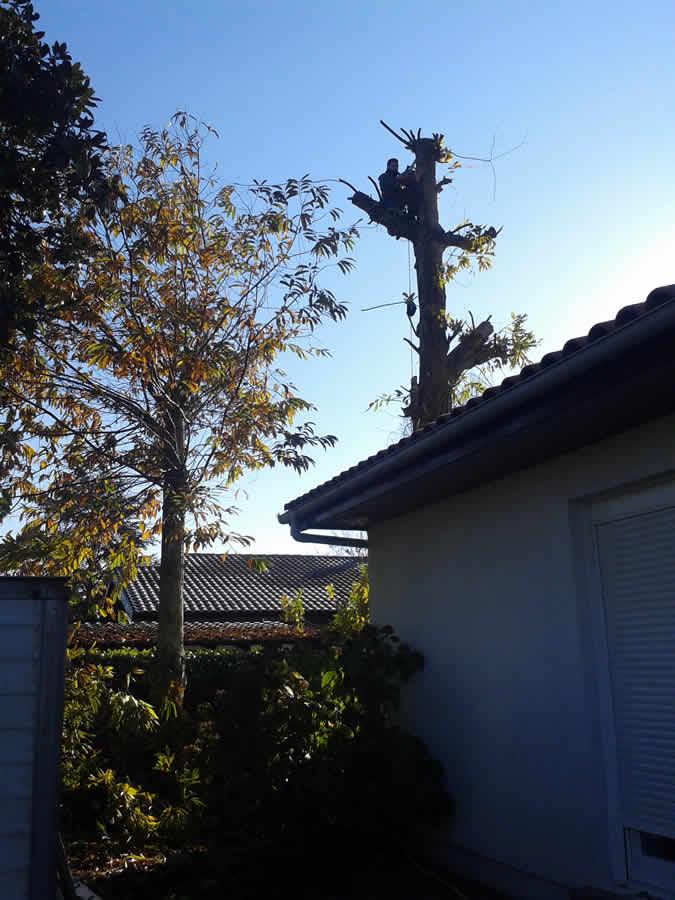 Tala de grandes árboles