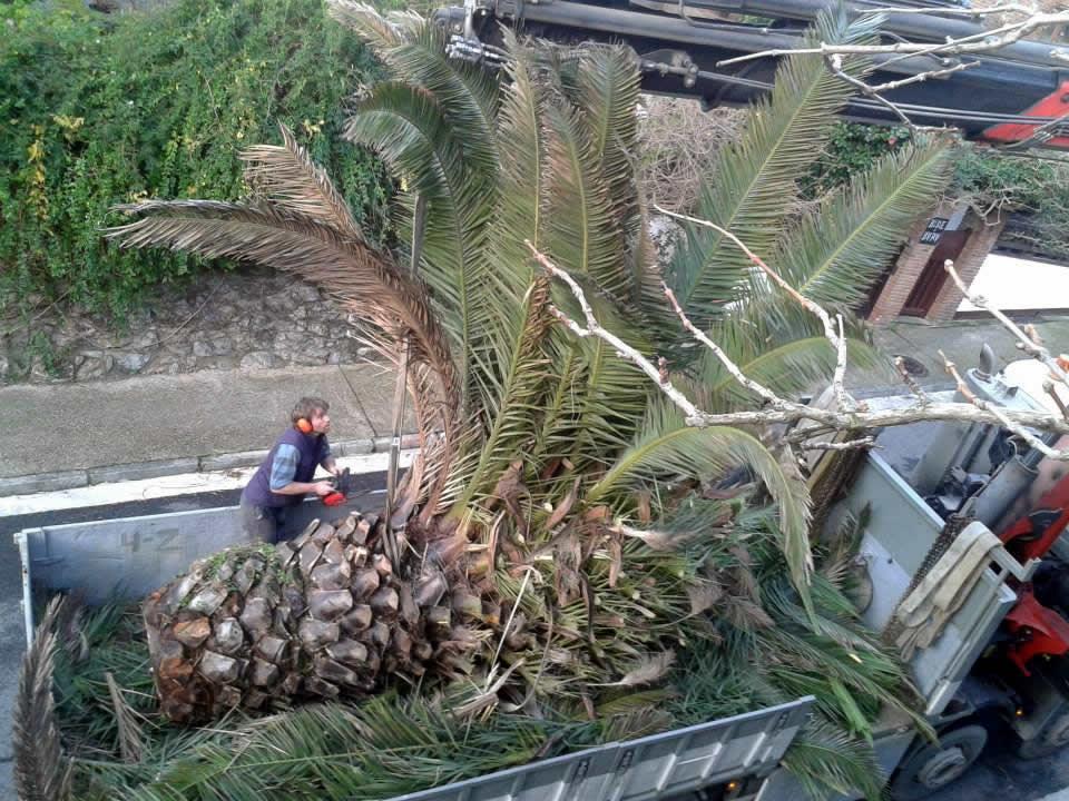Tala y transporte de gran palmera
